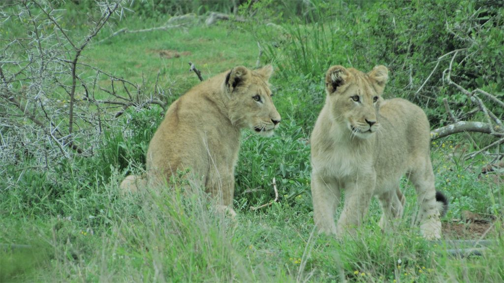 Addo Elephant National Park Lionesses