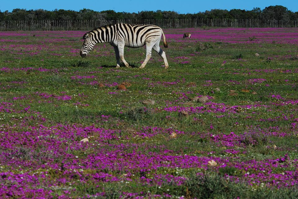Zebra Addo Elephant National Park Spring Flowers