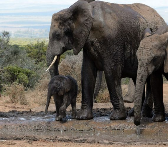Safari Addo: Help Africa's Endangered Wildlife