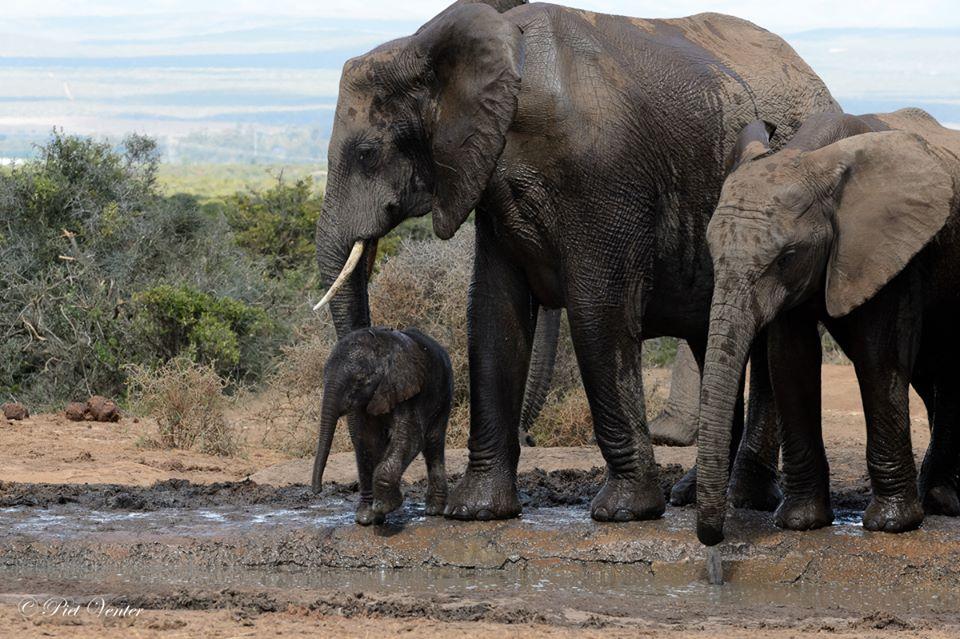 Addo Elephant Herd 05