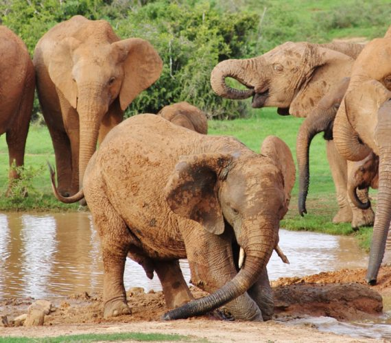 Addo Elephant Antics