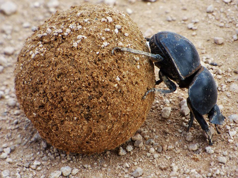 Addo Elephant National Park Dung Beetle