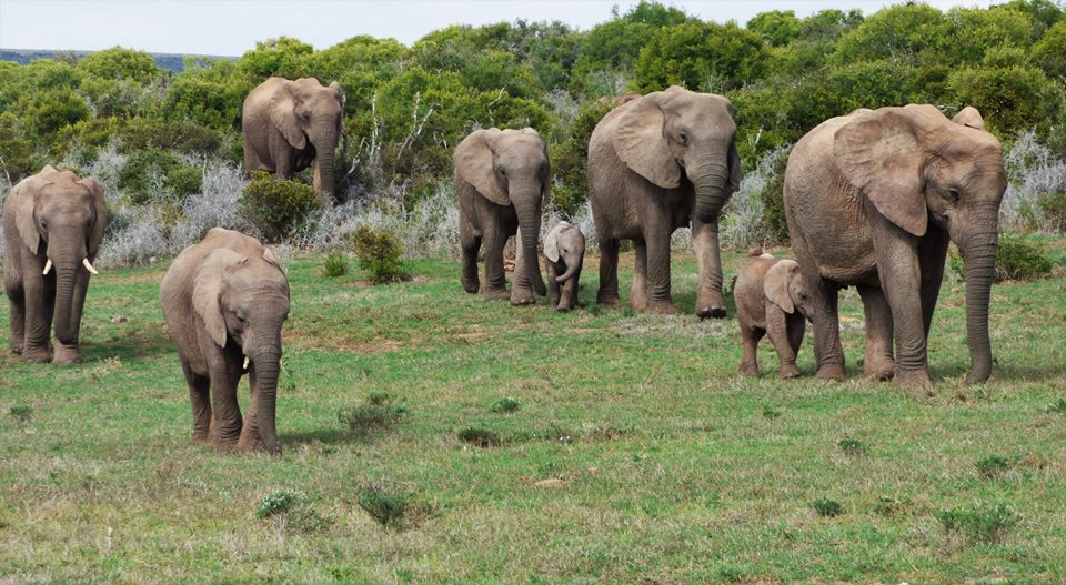 Endangered Elephant seen on Addo Safari