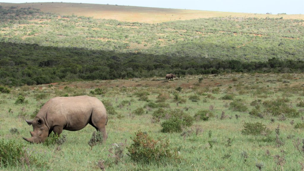 Endangered black rhino on Addo safari