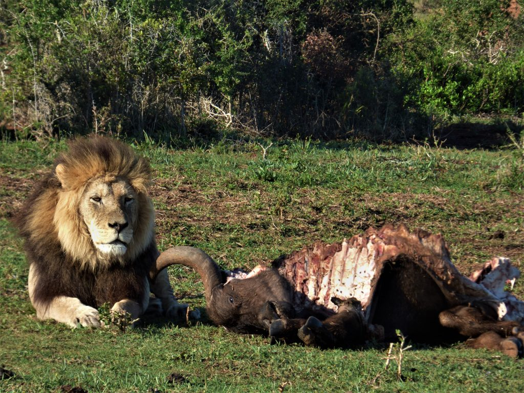 Endangered Lion seen at buffalo carcass on Addo safari