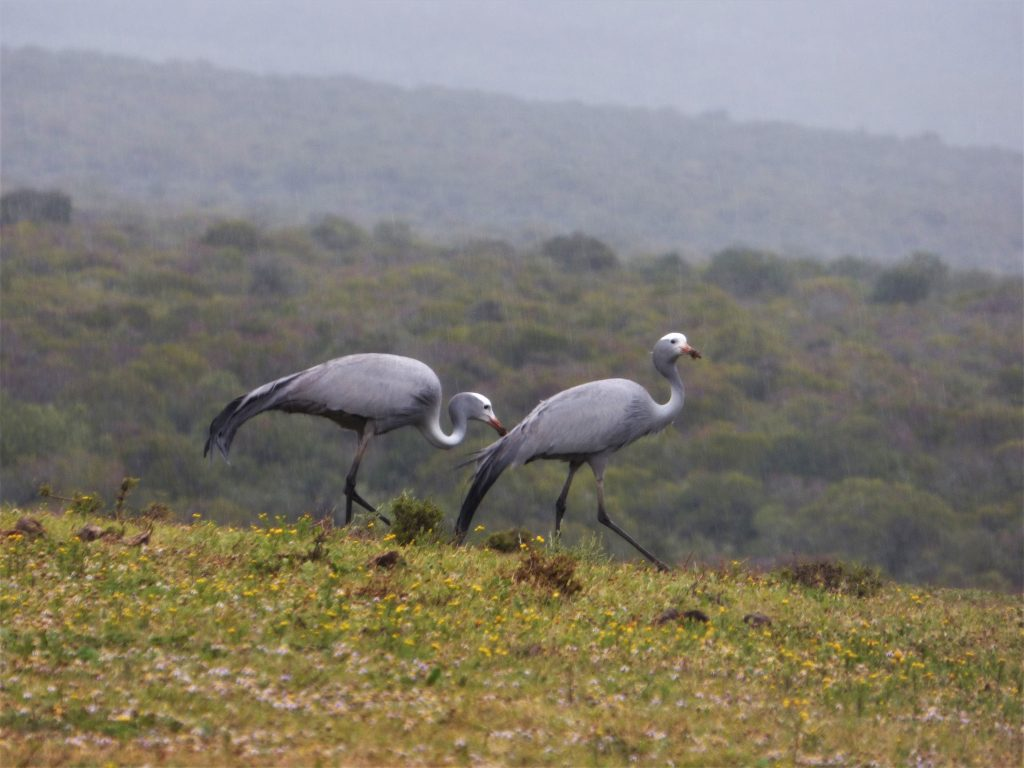 Endangered blue crane on Addo safari