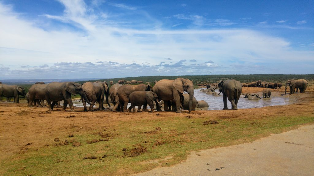 Elephants in Addo Elephant National Park