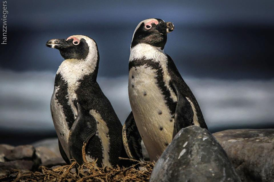 Endangered African penguin in Addo Safari Park