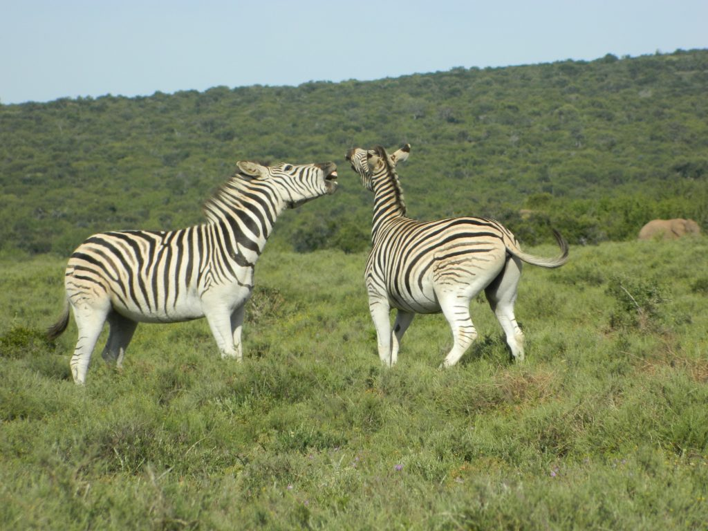 Addo Elephant National Park Zebra
