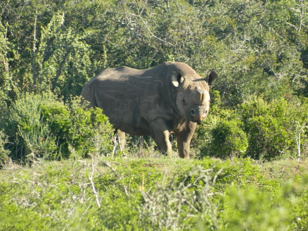 Black rhino in Addo Elephant National Park