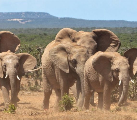 Evolution of Addo Tuskless Elephants