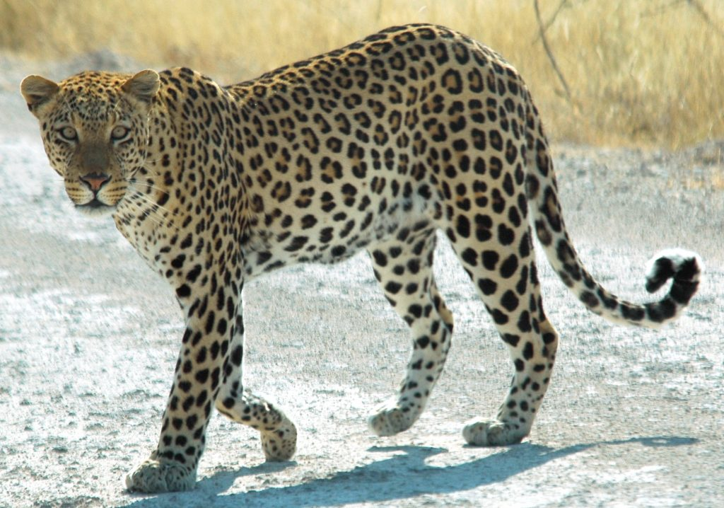 Leopard Addo Big 7